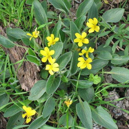 Yellow Wood Violets
